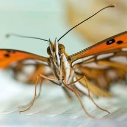Vlinder2