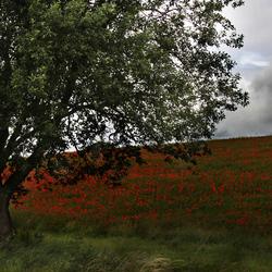 Rob Boehle - klaprozenveld met boom