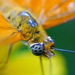 Pluizige vlinder