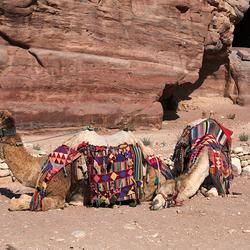kamelen voor rotswand l1505192357Rmw
