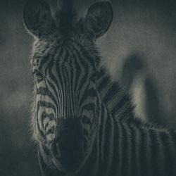 Zebra & Art .