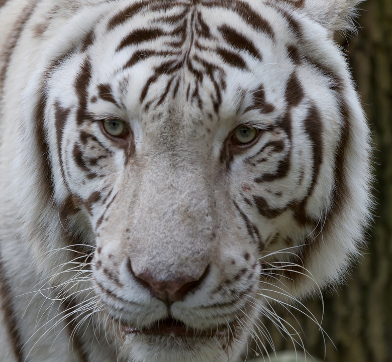 eyes of the (white) tiger - Witte tijger in Ouwehands Dierenpark.