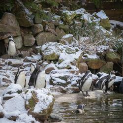 Pinguïns in de sneeuw.