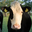 Koe in avondzon