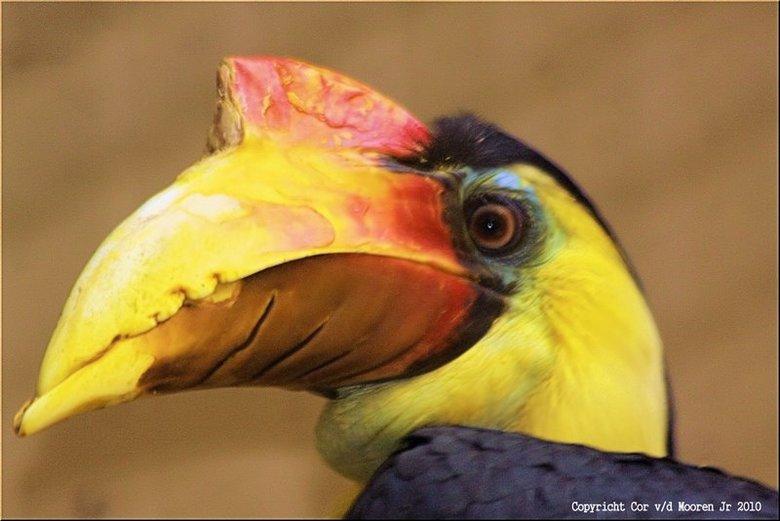 Geribbelde Neushoornvogel - x