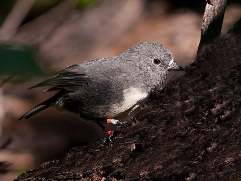 Nieuw-Zeelandse vliegenvanger - Tijdens een wandeling op het Ulva Island in Nieuw Zeeland op 8 maart 2012 kwamen we dit vogeltje regelmatig tegen. De