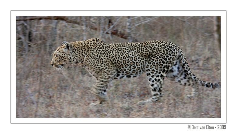 Silent hunter - Bekijk mij even groot voor nog meer details en spanning.<br /> <br /> Dit schitterende luipaard heb ik mogen fotograferen in Sabi Sa