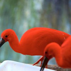 Rode ibis 2
