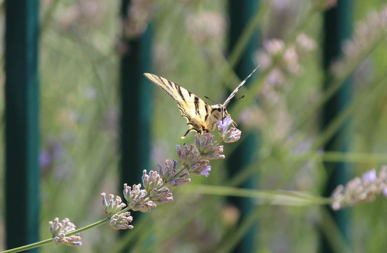 vlinder - vlinder sessie close up