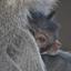 Moeder aap met baby