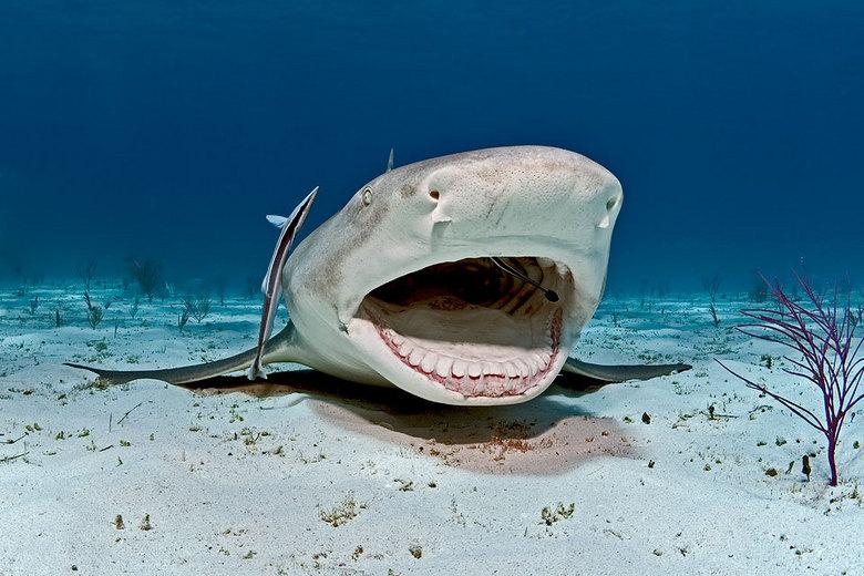 citroen haai - Citroenhaai wordt gepoetst door twee poetsvissen