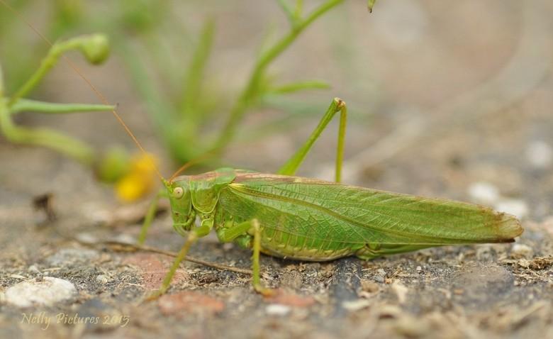 Zo groen als gras - Bijna stapte ik, op weg naar huis, op deze sprinkhaan. Het leek een stukje onkruid. <br /> <br /> Zo zie je maar dat je soms met