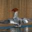 Vrouw zaagbek schudt haar vleugels uit