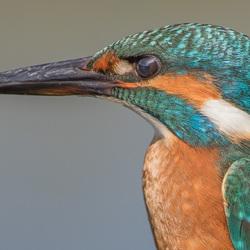 Portret IJsvogel.