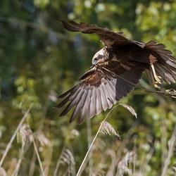 Bruine kiekendief met nest materiaal.