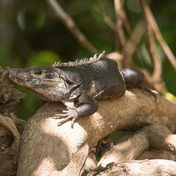 Witzwarte grondleguaan of Zwarte stekelstaartleguaan (Ctenosaura similis)