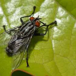 Stalvlieg (Stomoxys Calcitrans)