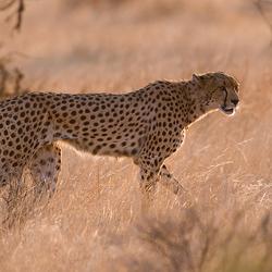 Cheetah nr. 2