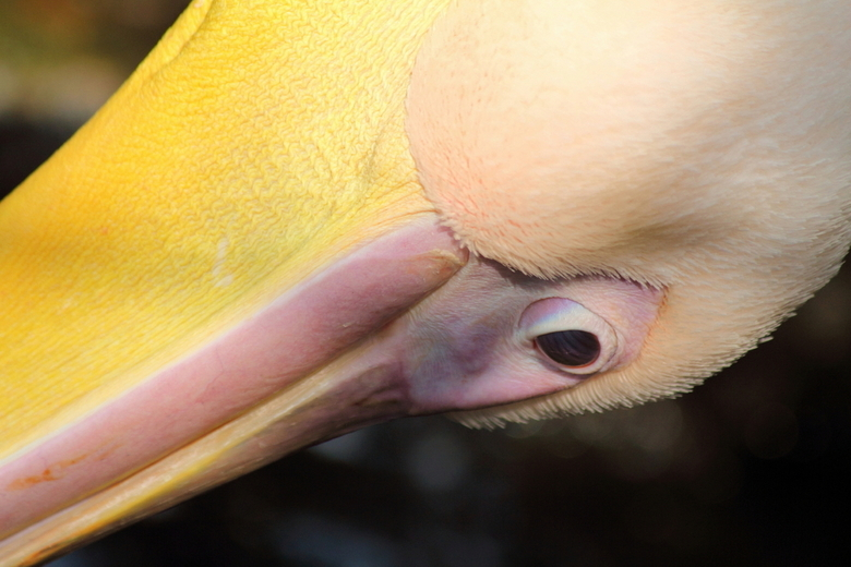 Pelikaan - Afgelopen zaterdag een bezoek gebracht aan de prachtige dierentuin in Emmen. <br /> Dit is een close-up, met de 70-300 lens, van een pelik