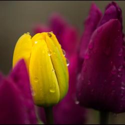 paars en geel