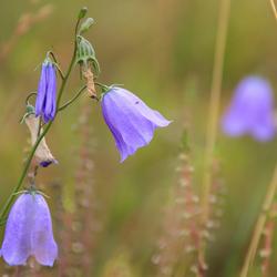 Blue flower - Zoomfotowalk