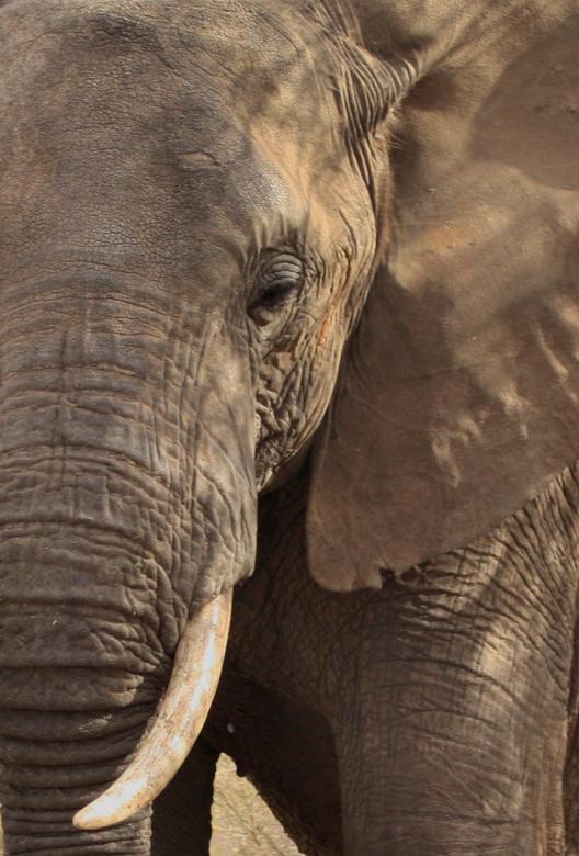 Olifant - Kenia & Tanzania