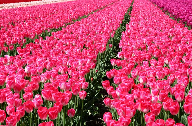 Voorjaar - Tulpenvelden in de kop van Noord-Holland.