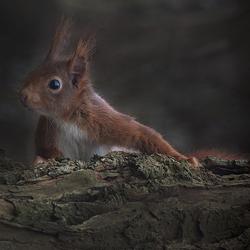 Eekhoorntje,op de uitkijk !!!