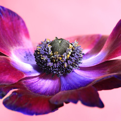 flying anemone
