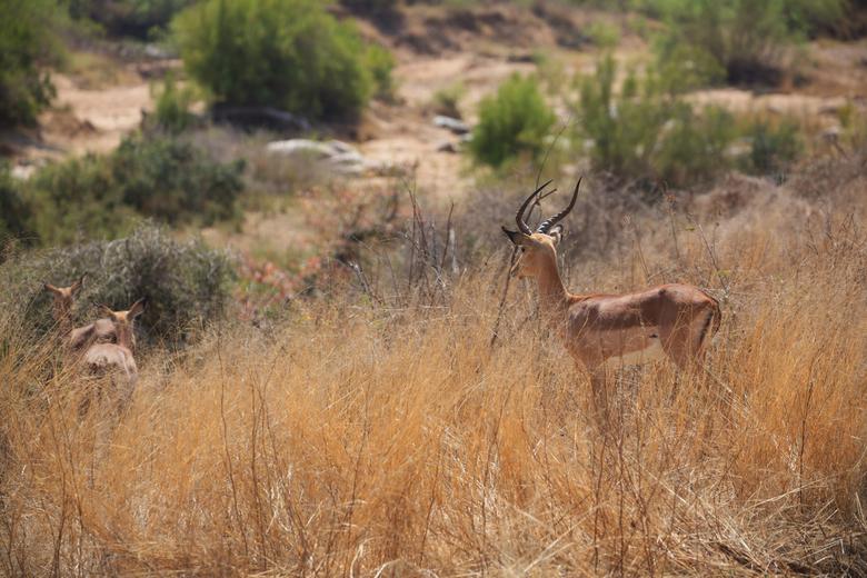 Impala's blik - Gemaakt tijdens een safaritour in het krugerpark, impalas zie je daar zoveel, dat we ze op een gegeven moment voorbijreden omdat we an