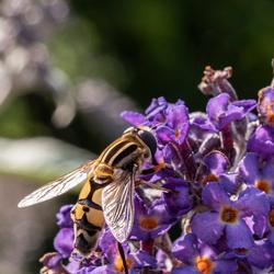 een niet alledaagse vlieg op vlinderstruik