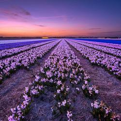 Hyacinth Blues