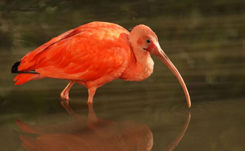 Rode Ibis - Deze Rode ibis heb ik gefotografeerd in vogelpark Avifauna.<br /> Helaas was het niet mogelijk de weerspiegeling in zijn geheel te laten