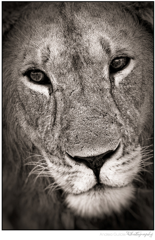Lion Kings portret - Sorry er ging iets verkeerd  met de vorige upload.Jullie hebben de lion king al in kleur gezien dus deze close up vond ik mooi om