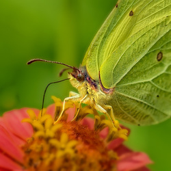 vlinder in de moestuin.