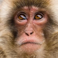 Snow monkey close up