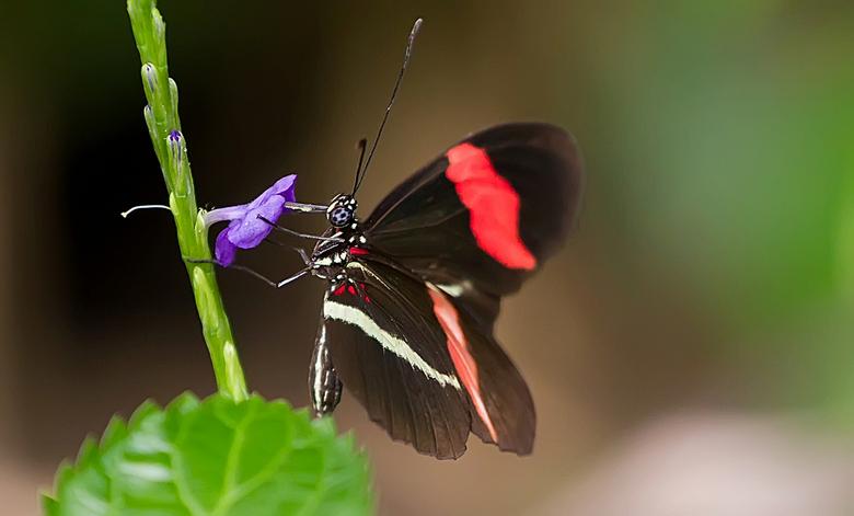 """Fly   away 2 - Helaas is de naam van deze vlinder mij niet bekend; wel weet ik dat deze gemaakt is in de vlindertuin van Blijdorp  <img  src=""""/images/"""