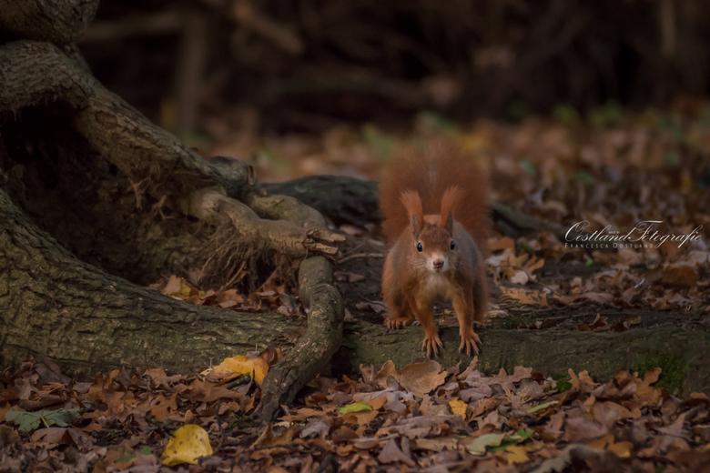 Bosspringertje - Wat is de herfst toch mooi met een eekhoortje erbij. Prachtig beestje.
