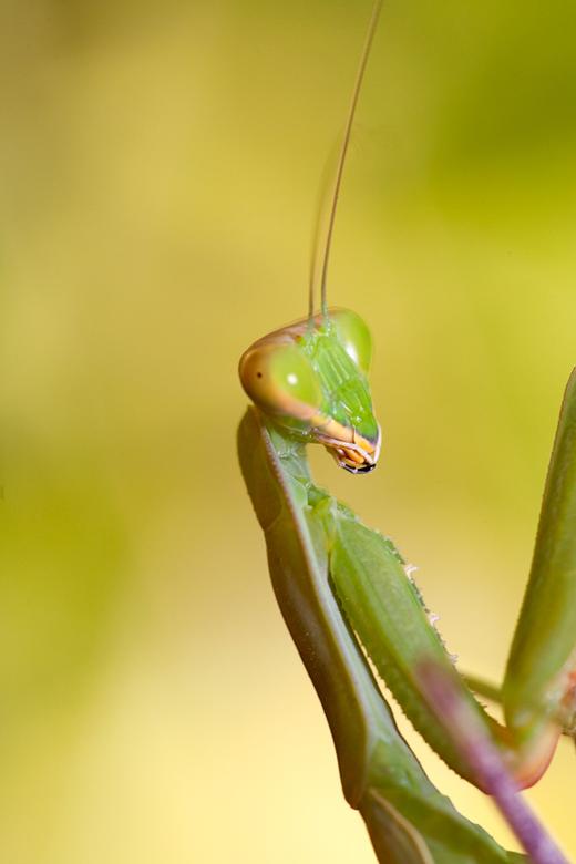 Mantis op Cyprus - Nog een, ben ik even blij moment dat, moment, dat ik mijn 100mm macro lens mee heb genomen op vakantie.<br /> <br /> Ik kwam deze