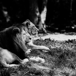 Prachtige leeuwen