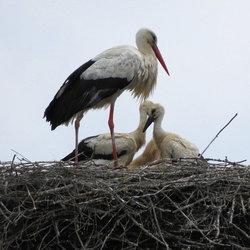 Jonge ooievaars op het nest