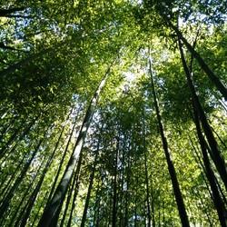 Bamboebos