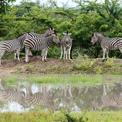 Zebras in het wild