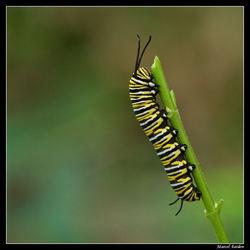 rups Monarchvlinder