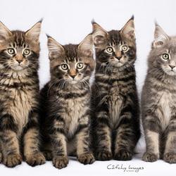 Maine Coon kittens (12 weken)