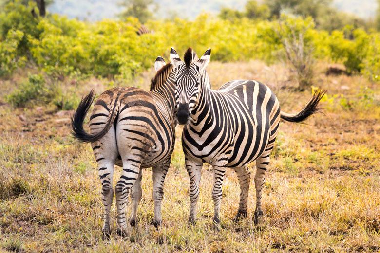 Zebra's in Zuid-Afrika -