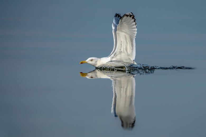 Landing op het water. - Een pontische meeuw glijdt in het water van de Oderdelta in Polen.<br /> <br />  Bedankt voor de leuke en bemoedigende react