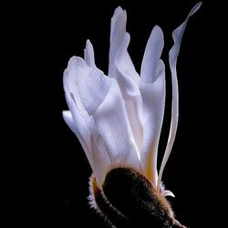 magnolia dentata alba..