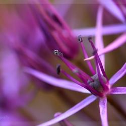 Alliumbol