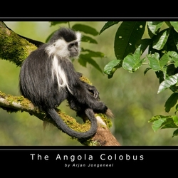 The Angola Colobus